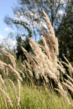 spikelets: Spikelets in the sunlight