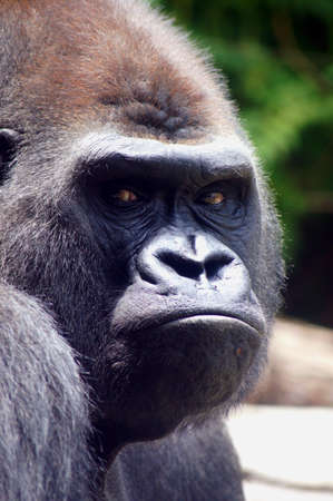 Gorilla Face Banco de Imagens - 14761107