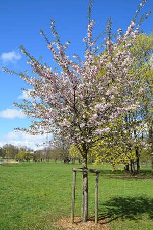Sakura tree blooming on a sunny spring day.
