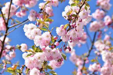 Sakura trees blooming on a sunny spring day.