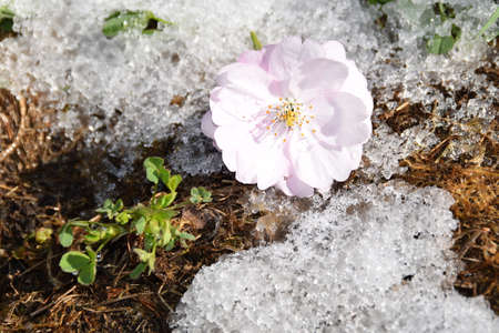 The bloom of a sakura tree on a snowy ground. Stock Photo