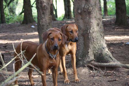 ridgeback: Rhodesian Ridgeback girlfriends