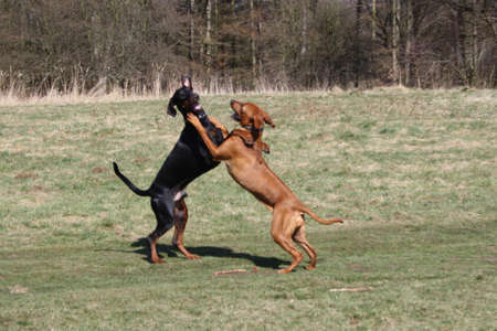 impoverish: Rhodesian Ridgeback Hug Stock Photo