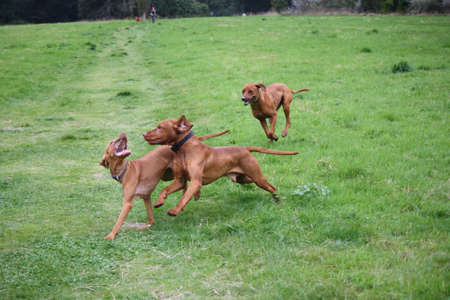 impoverish: Rhodesian Ridgeback who wins Stock Photo