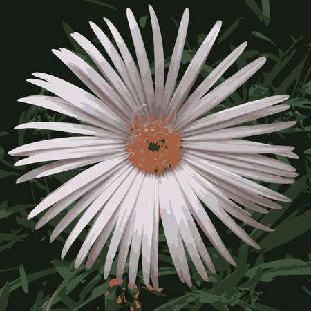 osteospermum: Daisy Type Flower, foliage background