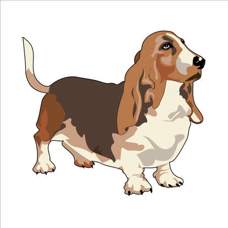 hound: Realistic Vector Drawing of Basset Hound Illustration