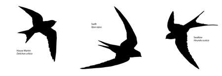 swift: House Martin, Swift and Swallow Recognition Silhouette