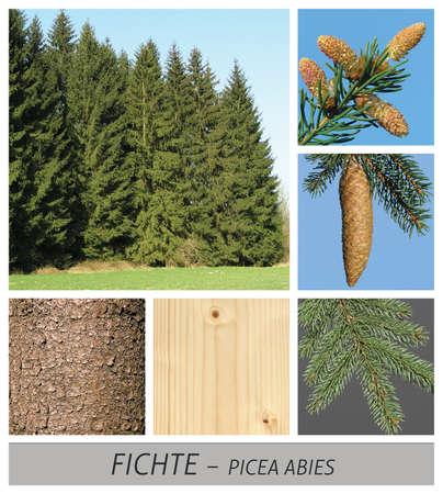 spruce, red spruce, common spruce, picea, abies, forest Reklamní fotografie