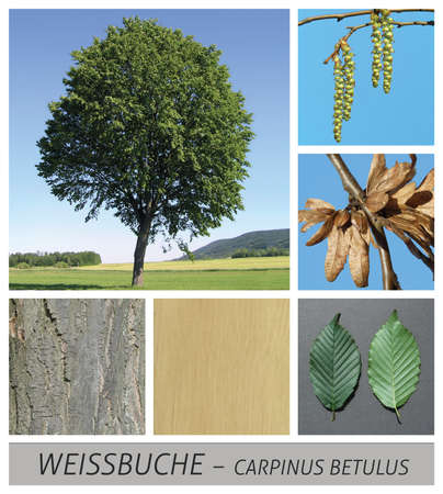 Collage tree species with detail photos of flowers and fruits and leaves 写真素材 - 123479605