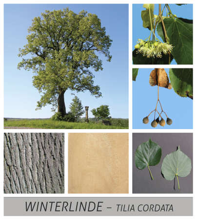 winter linden, linden, summer linden, linden, lime blossom, tea