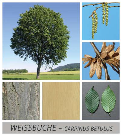 beech, white beech, hornbeam, beech, carpinus, betulus, seeds