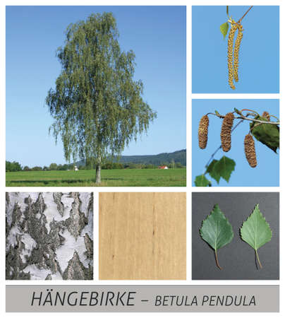 birch, hanging birch, betula, pendula, collage, tree, deciduous Фото со стока