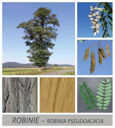 robinia, acacia, shamacacia, robinia pseudoacacia, robinia, thorn