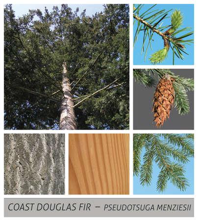 coastal douglas, douglasia, Coast Douglas Fir, Douglas Spruce