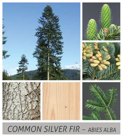 fir, Common Silver Fir, European Silver Fir, tree, needle, conifer, abies alba, evergreen, collage