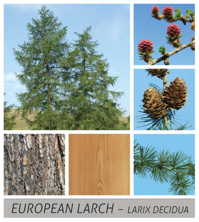 larch, european larch, conifer, larix, decidua, needle, evergreen