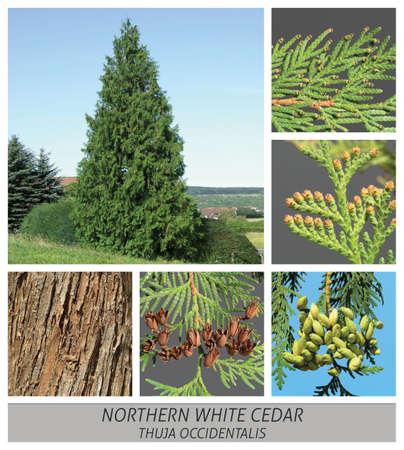 Northern White Cedar, occidental, thuja, occidentalis, conifer