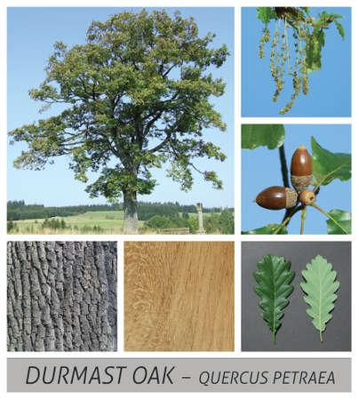 oak, Durmast Oak, Sessile Oak, Cornish Oak, quercus, petraea, german oak, acorn