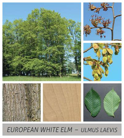 elm, ulmus glabra, European White Elm, Fluttering Elm, Spreading Elm, Stately Elm, Russian Elm Banque d'images