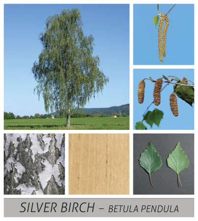 birch, Silver Birch, Warty Birch, European White Birch, betula, pendula, tree Banco de Imagens