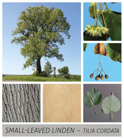 Small-Leaved Linden, Littleleaf Linden, Small-Leaved Lime, linden, lime blossom, tea Stock Photo