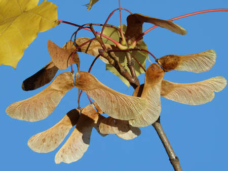 Norway Maple acer parts of tree fruits bark tree