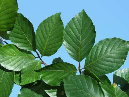 European tree red beech common Deciduous Foliage