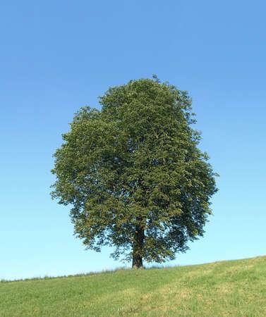 common horse chestnut tree European continental foliage