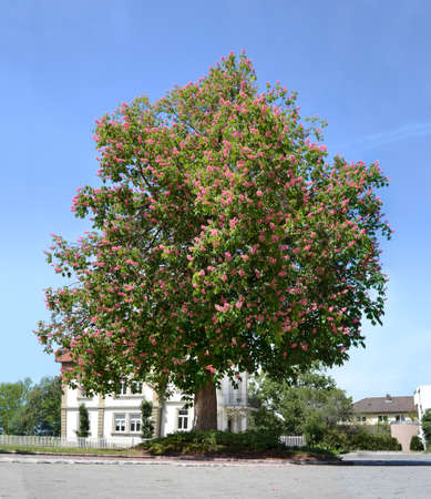 common red chestnut tree European continental foliage Imagens