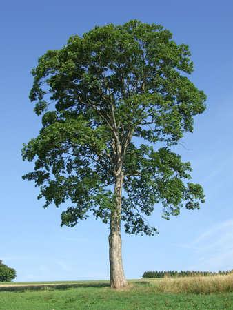 maple fruits bark wood tree deciduous foliage