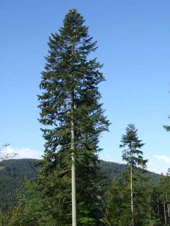 white fir tree needle conifer evergreen collage 免版税图像