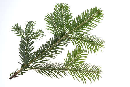 Nordmann fir tree needle conifer evergreen branch