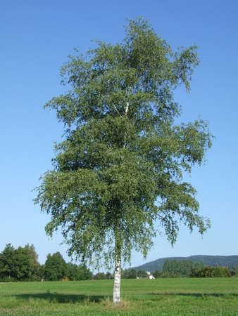 birch Silver tree European White summer leaves 免版税图像
