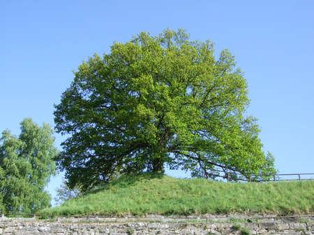 oak Durmast Oak tree german oak acorn