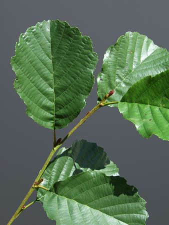 Common Alder Black European tree Deciduous forestry 免版税图像