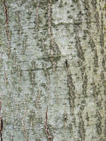 Common Alder Black European tree Deciduous