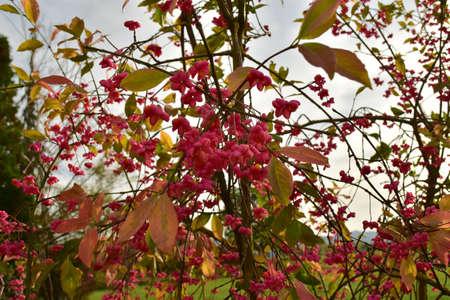 Spindle bush red tree german garden in autumn