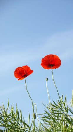 Beatiful poppies on blue sky photo