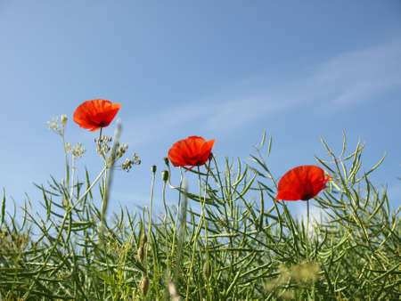Three poppies on blue sky photo