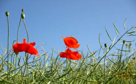 Three poppies in rape field photo