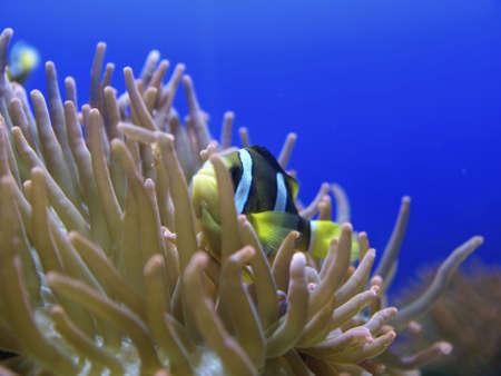 percula: Anemone fish Stock Photo