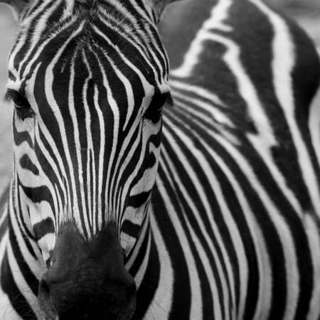 Detalle de una cebra (Equus zebra) Foto de archivo