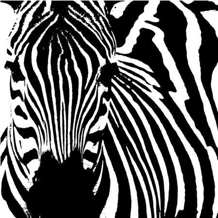 white horse: Vector illustration of a zebra