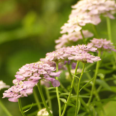Pink bloom of Verbena officinalis Imagens - 9782067