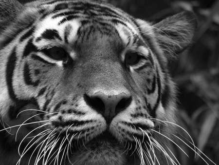 Amurtiger (Panthera tigris altaica)     photo