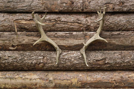 animal body part: Wooden background with deer horns