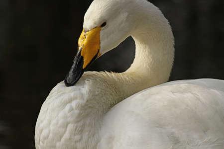 Portrait of a Bewick s swan  Cygnus bewickii Stock Photo - 13170009