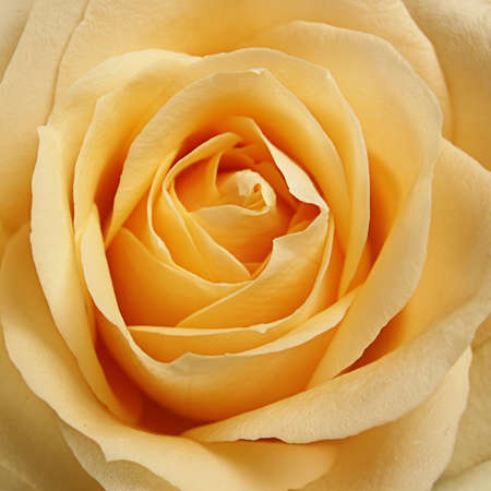 Detail einer schönen Rose Standard-Bild