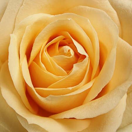 rosas amarillas: Detalle de una hermosa rosa