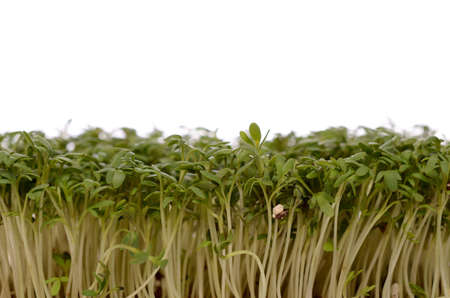 Fresh cress on a white background